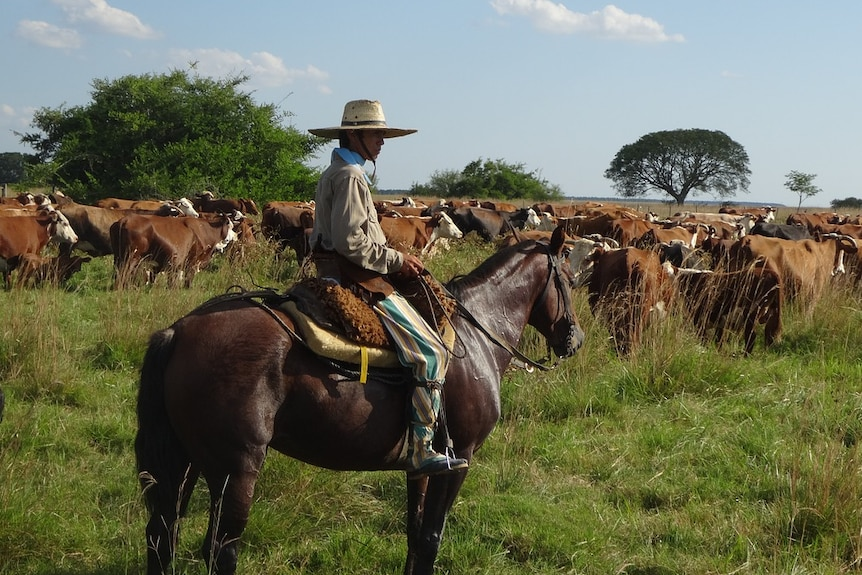 An Argentinian gaucho on a horse, with cattle surrounding him.
