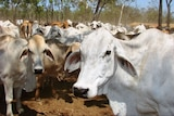 Brahman are the mainstay of the Cape York Peninsula cattle industry