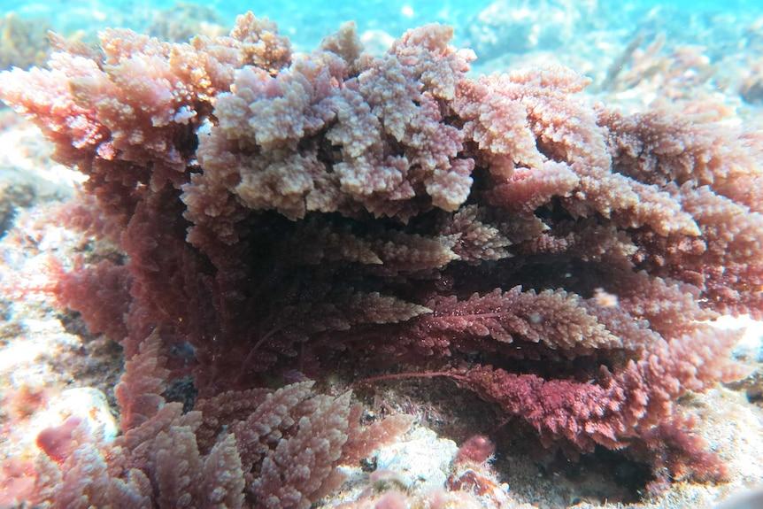 Pink-coloured seaweed