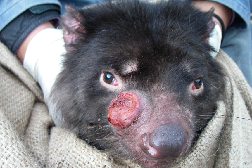 Close up of Tasmanian devil with facial tumour