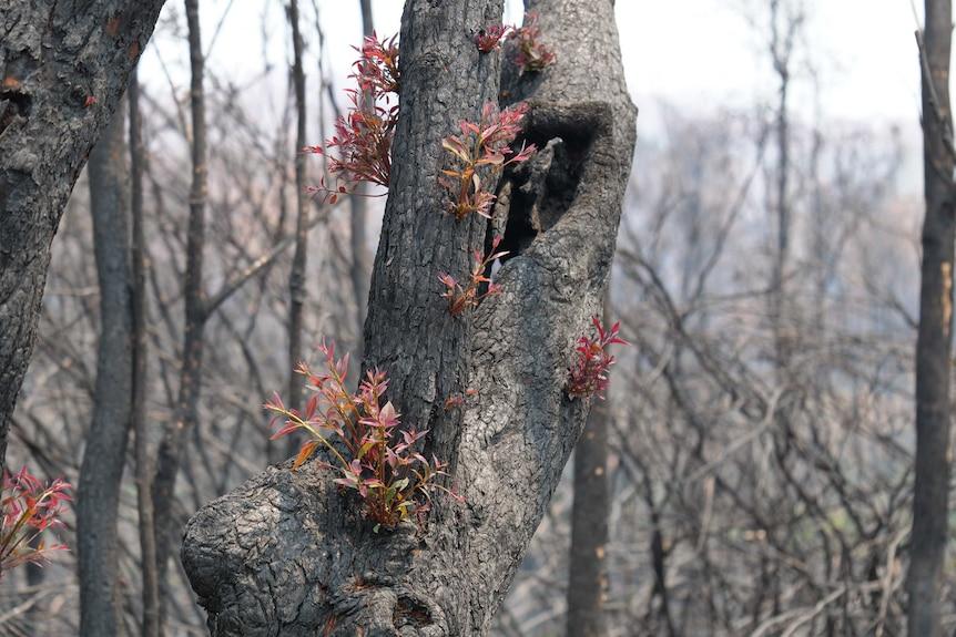New green shoots emerge on a blackened eucalypt tree.