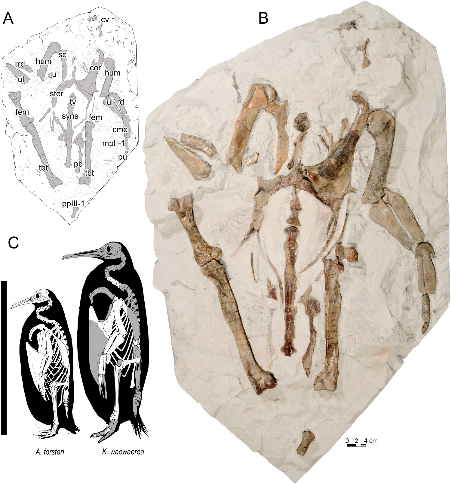 Fossil next to line drawings showing size compared to emperor penguin.