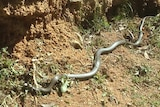 A picture of a brown snake at the Wolulma Christmas tree farm