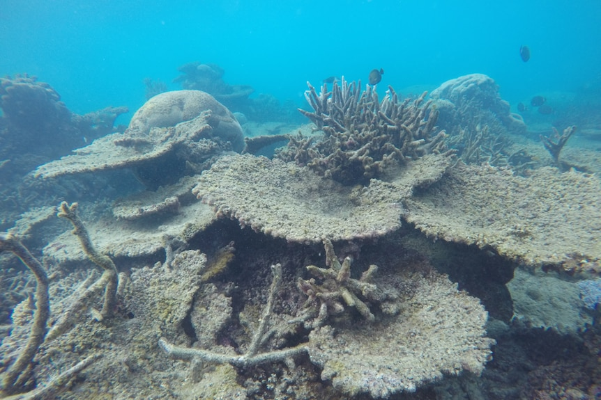 Corals suffered greater bleaching in 2016