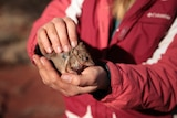 Pair of human hands hold a tiny  marsupial