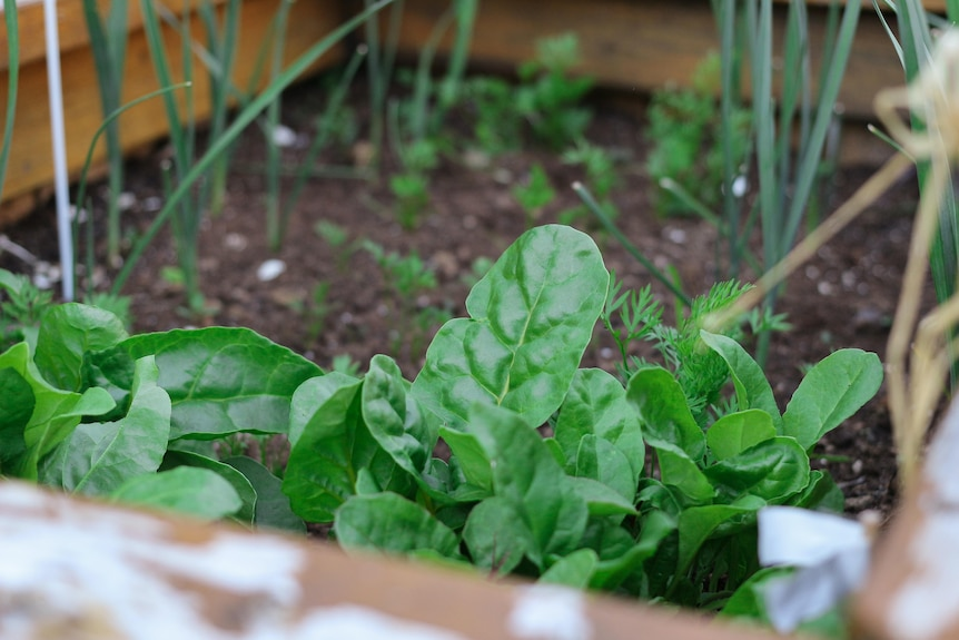 Close up shot of young leaves of spinach in a square patch of dirt, with other green shoots in the background.