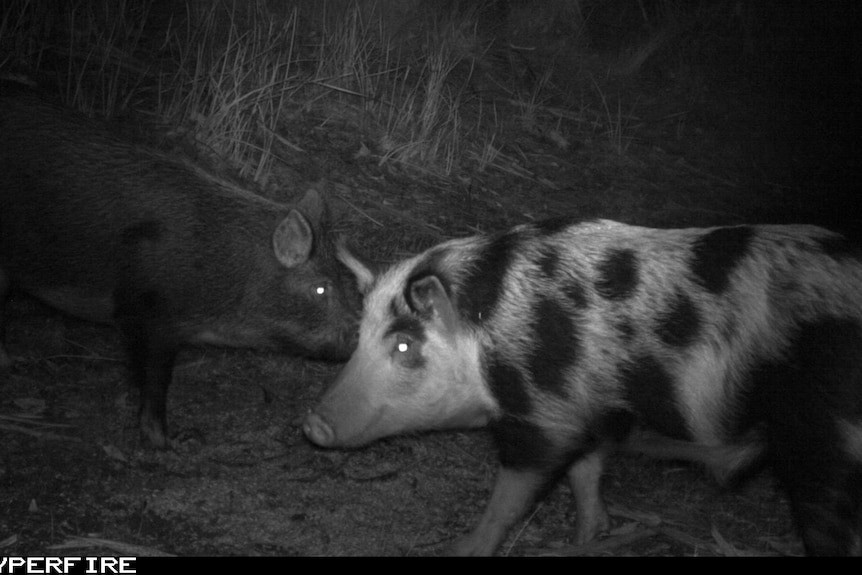 Feral pigs captured by a motion-sensor camera in south-west Victoria.