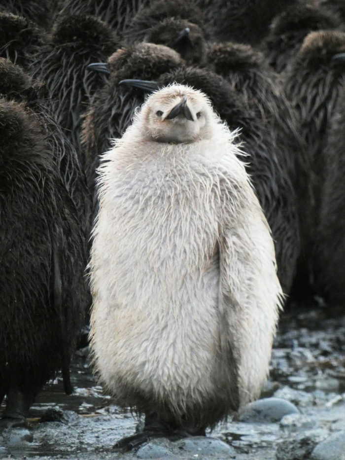 The pale king penguin found on Macquarie Island.