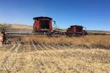 A harvester runs over a canola crop under a blue sky.