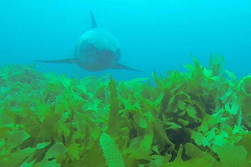 A white shark swims towards the camera, over vibrant green weed