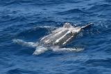 dark grey turtle floating upside down in deep blue ocean
