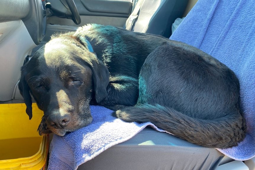 a dusty, black dog looking poorly, sitting on the back seat of a car with a blue towel beneath him and a bucket in front