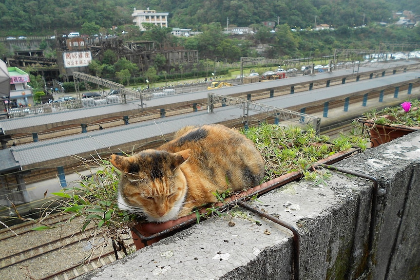 Cat tourism: Houtong kitty