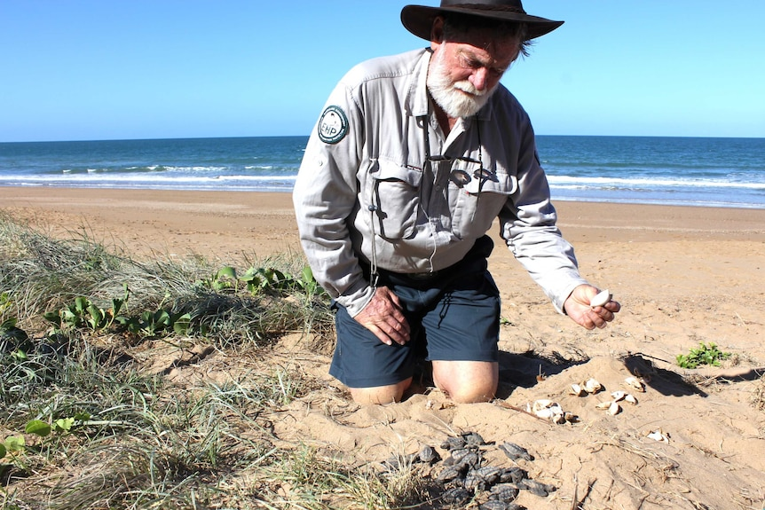 Department of Environment and Heritage Protection Chief Scientist Dr Col Limpus pulls dead turtles from an uncovered nest.