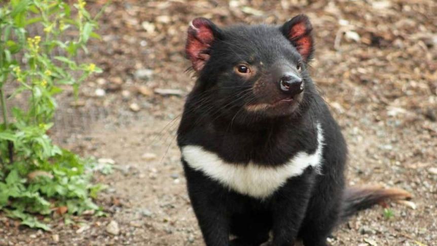 Tasmanian devil vaccine a step closer