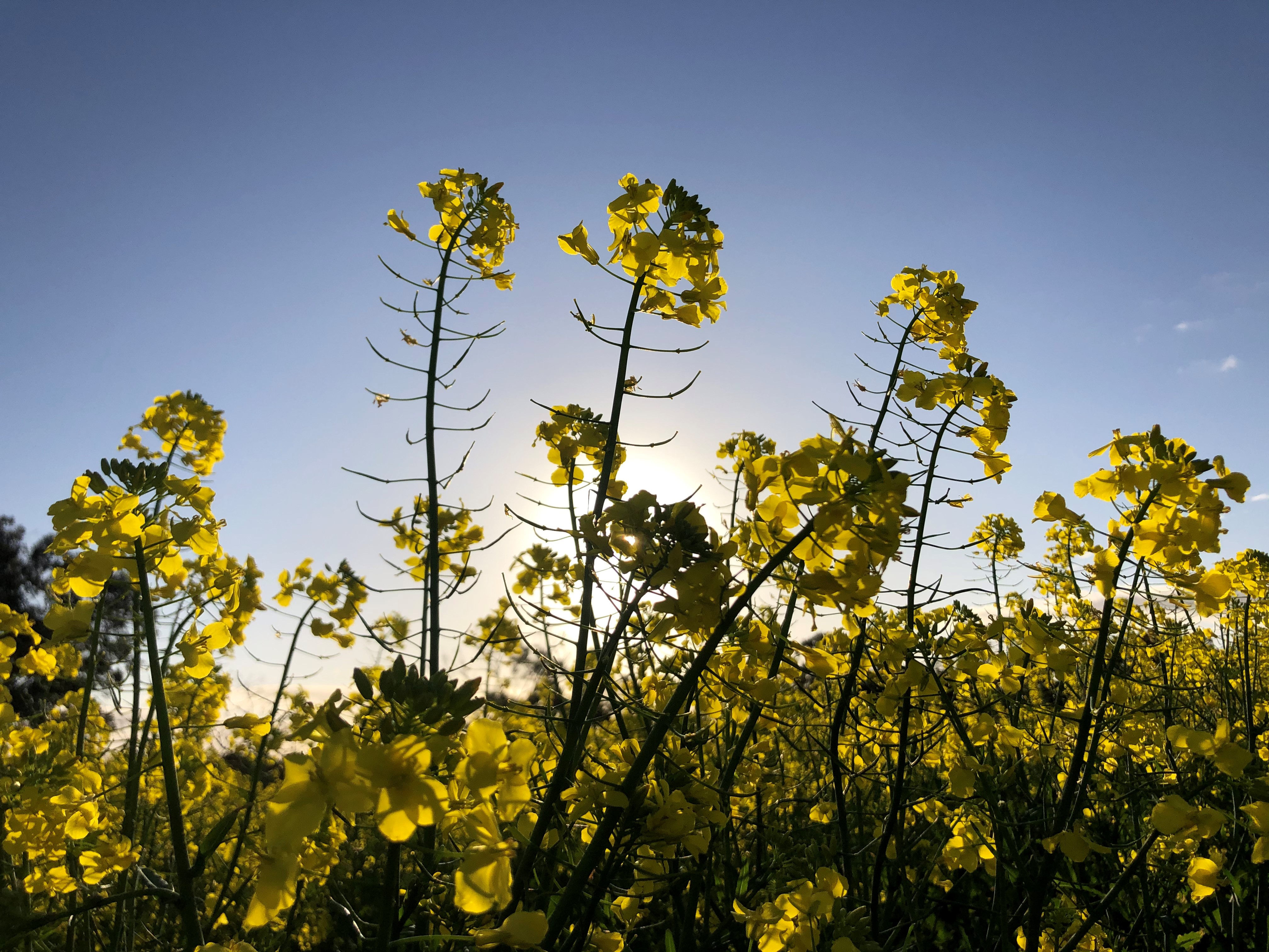 A ground-up shot showing the heads of canola plants backlit by bright sunshine
