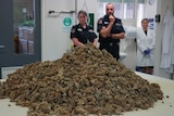 A large pile of cannabis inside a room with police standing around.
