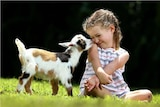 Photo of Nigerian Dwarf kid and young girl.