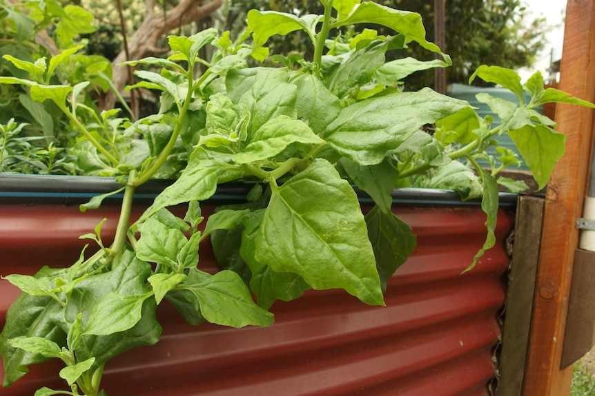 A warrigal greens plant grows over the side of a red iron fence.