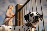 A woman with blonde hair and a face mask is walking a dalmation in the park. The sky is cloudy.