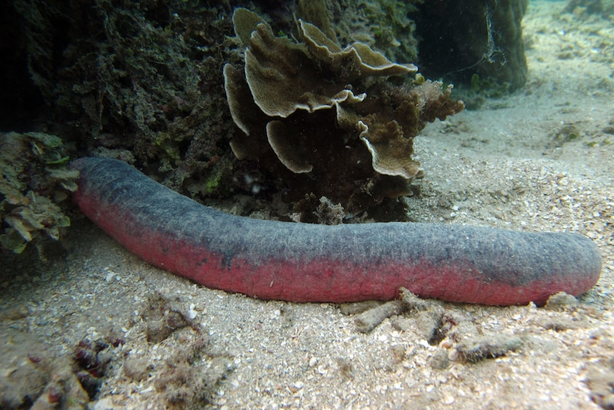 A long snake-like sea cucumber on the floor of the ocean.