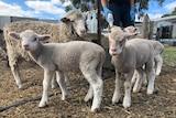 A group of lambs on Kangaroo Island
