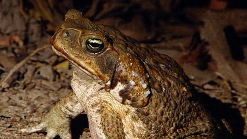 A cane toad.