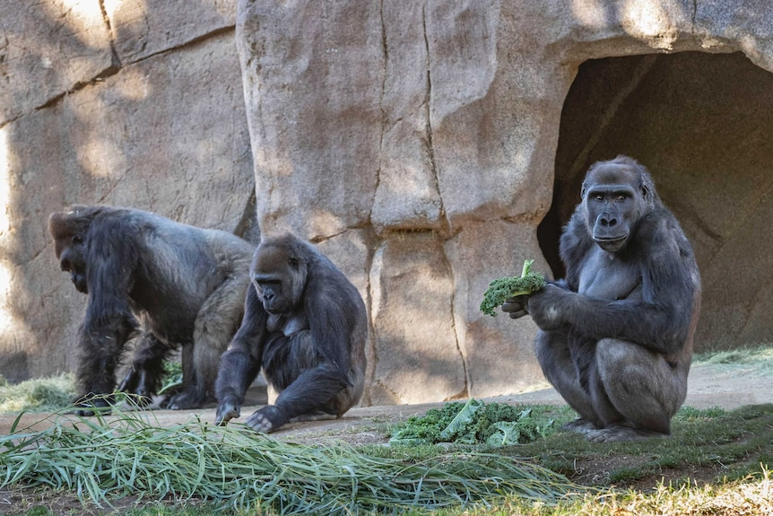 Several members of the gorilla troop at the San Diego Zoo Safari Park.