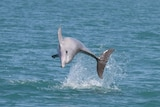 A bottlenose dolphin plays off the NT coast.