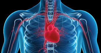 The placement of the heart in the human body