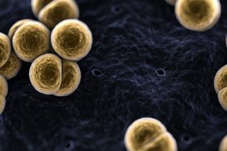 Meningococcal bacteria under the microscope.