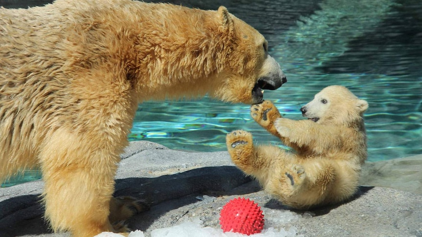 Henry, the five-month-old polar bear cub, plays with mother Liya.