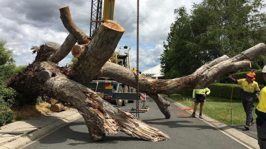 A large tree lies across the road after being chopped down.