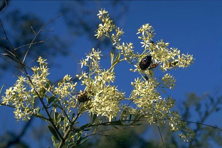 Bursaria with beetle