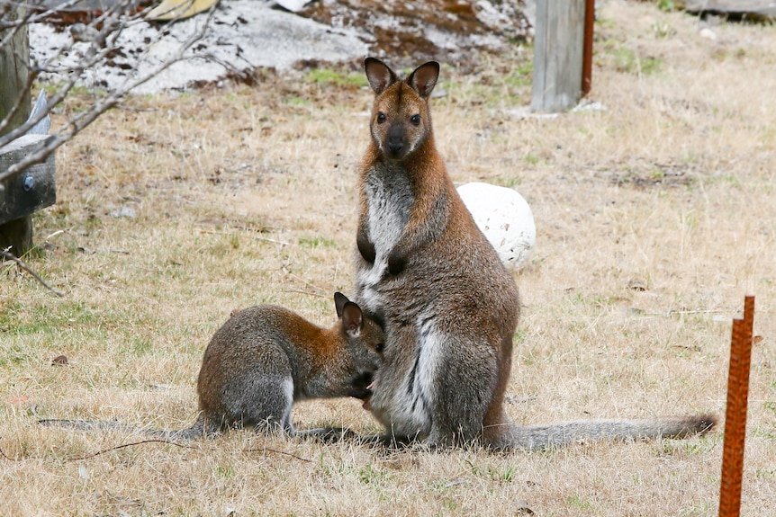 A mother and baby wallaby, one looking at the camera.
