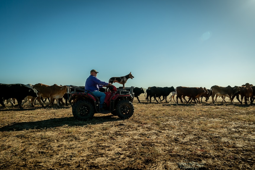 Angus Emmott is driving a quad bike, with a dog is standing on the front, looking ahead, past a herd of cattle.