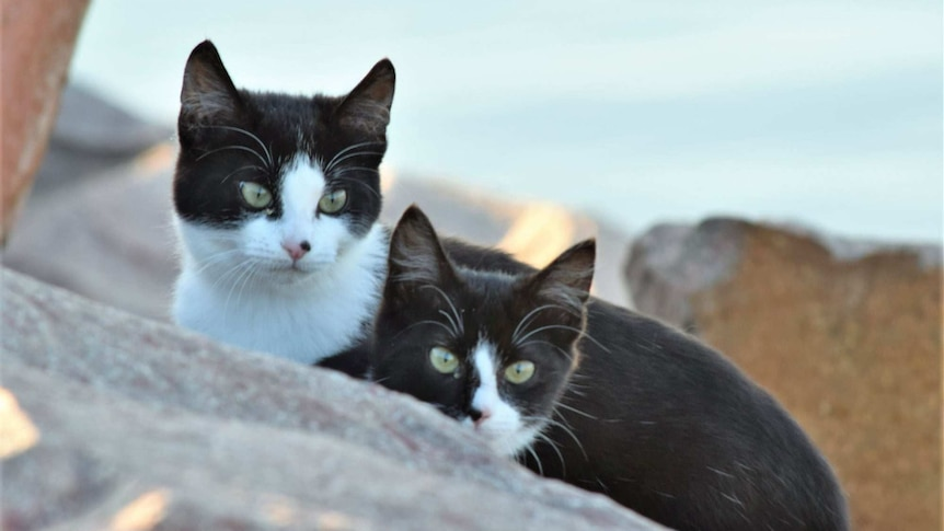A pair of black-and-white cats peering over a piece of rock.