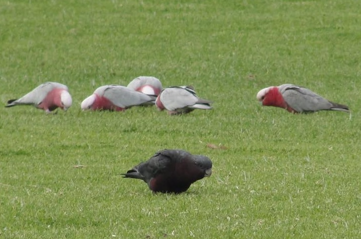 A rare black galah with a tinged pink underbelly grazes on grass next to a regular white and grey galah.