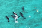 An aerial view of five humpback whales and seven snorkelers