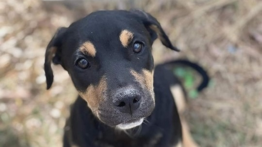 A black and tan puppy.