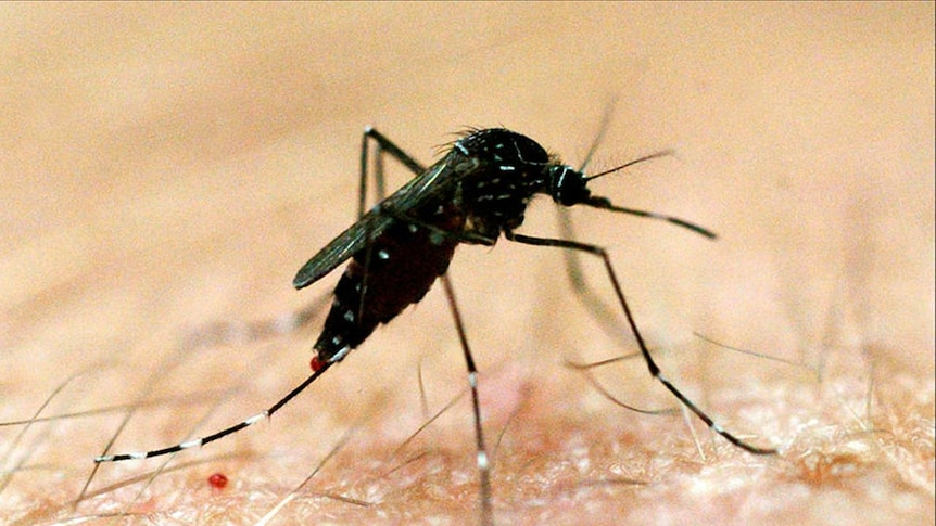 Dengue fever is transmitted by mosquitoes.