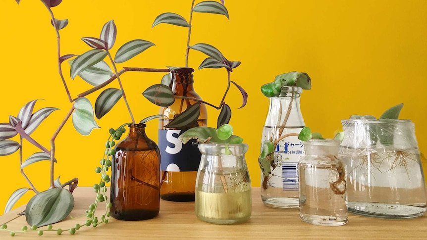 Plant cuttings in glass bottles sit on a shelf, a cheap and easy way to grow indoor plants for home.