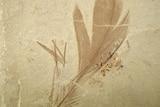 fossilised feather