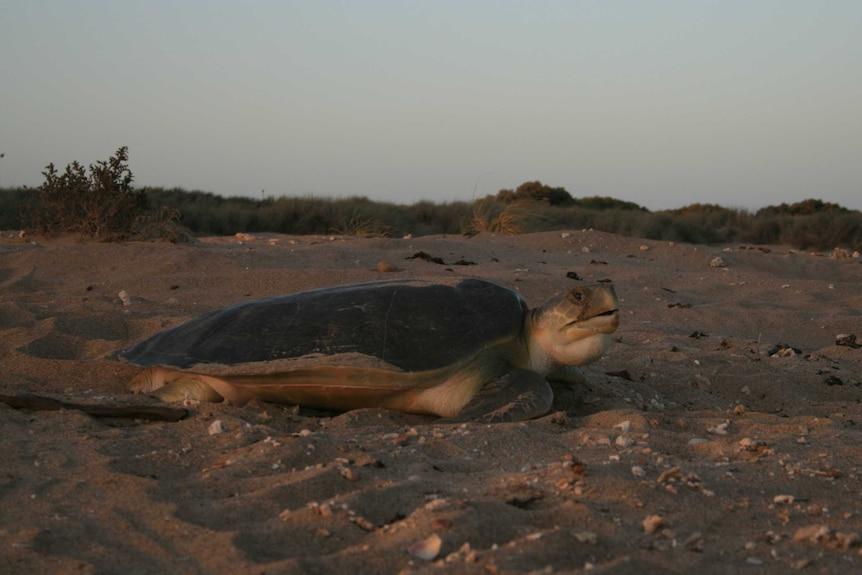 large turtle on beach