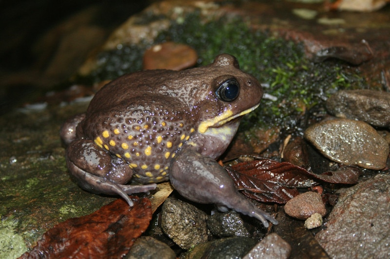 A large brown speckled frog sits on some wet leaves and rocks.
