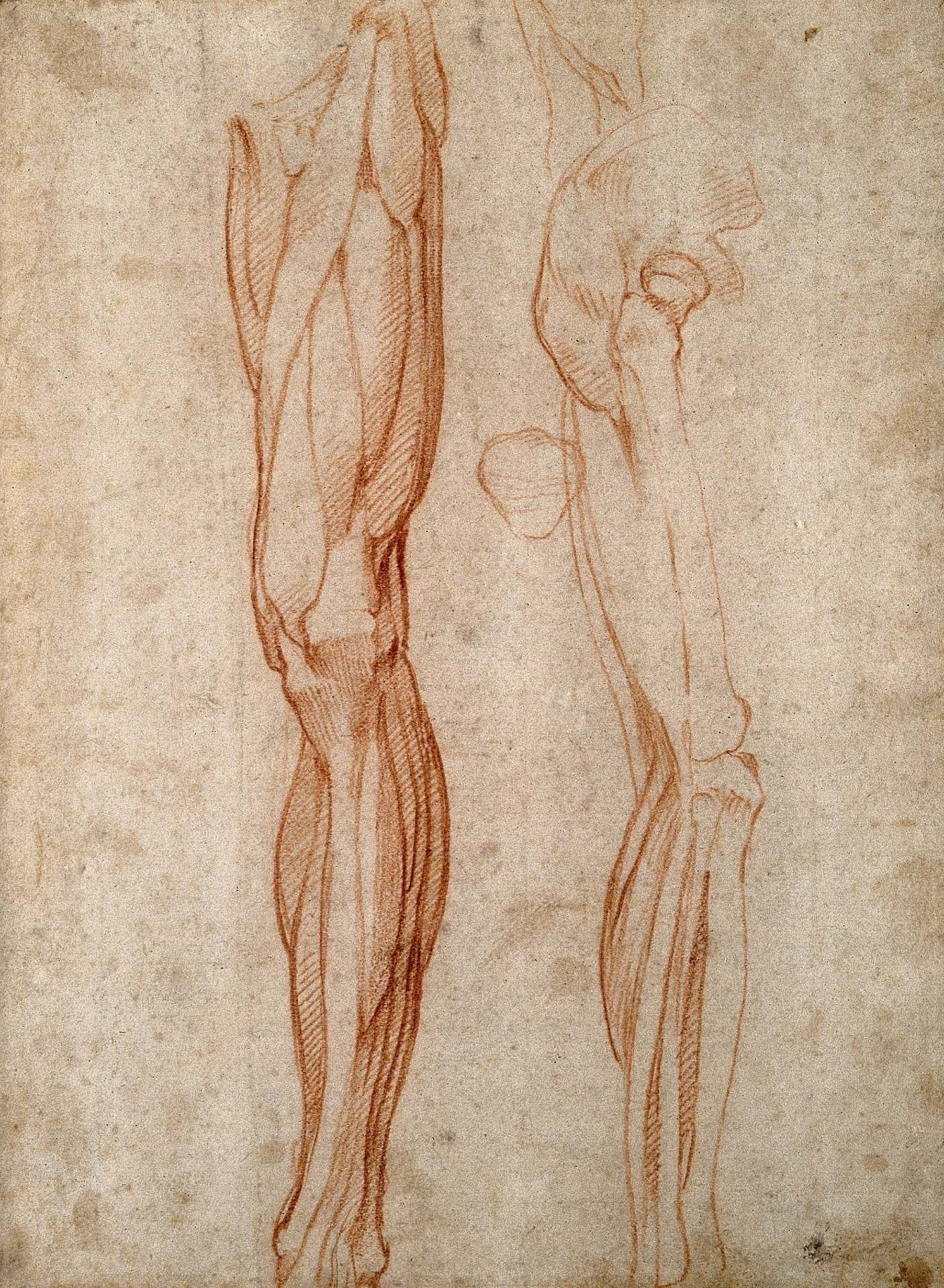 A pencil drawing of leg muscles