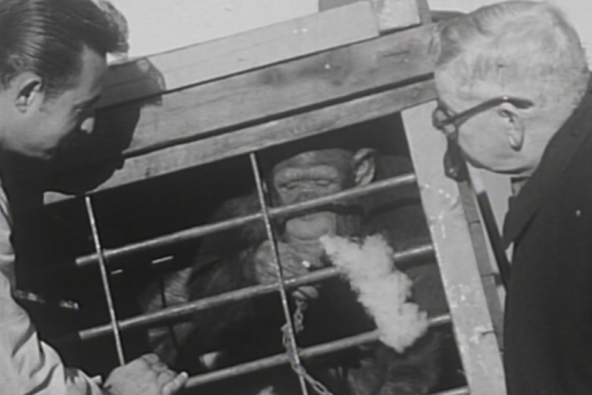 Jimmy the Chimp smoking in a cage.