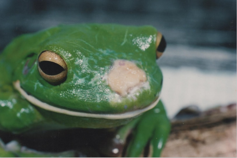 a green frog with a white mass growing on its face