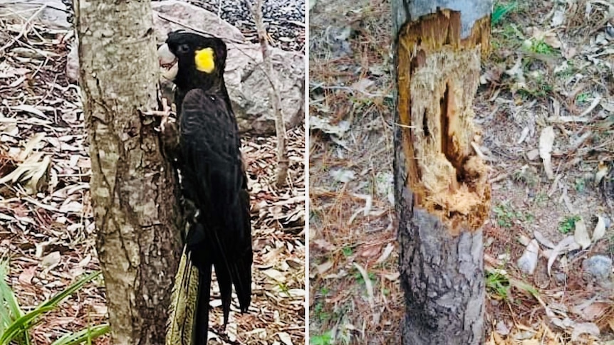 Before and after images. The first shows Black-Cockatoo biting tree trunk and then badly damaged trunk.