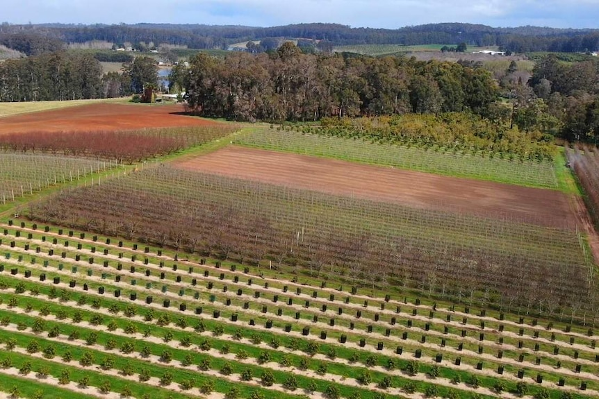 Aerial photo of an orchard in Manjimup, September 2020